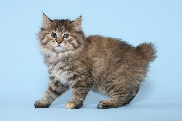 Top 10 giống mèo hiếm nhất thế giới - Ảnh 3