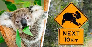 Biến đổi khí hậu: Biểu tượng nước Úc - gấu túi đang biến mất nhanh chóng - Ảnh 1