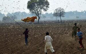 Ấn Độ chuẩn bị cho cuộc chiến với cơn bão châu chấu từ Sừng châu Phi