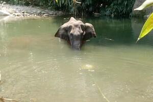 Vụ voi mang thai chết vì ăn trái cây có chứa thuốc nổ là chưa chính xác