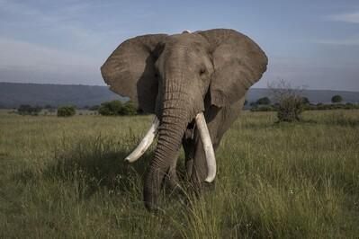 Giải pháp cứu loài voi từ bên ngoài Trái Đất