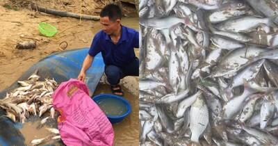 Đâu là nguyên nhân khiến cá chết bất thường trên sông Con ở Nghệ An?