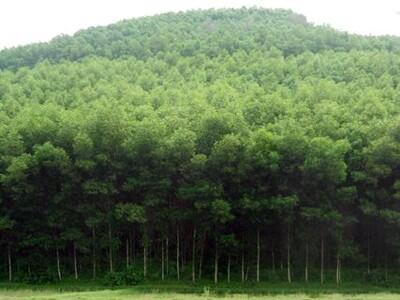 Tăng hơn 100% diện tích trồng rừng