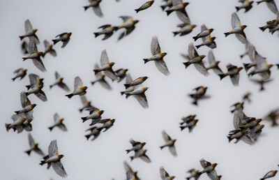 Đàn chim di trú quý hiếm bị xẻ thịt để đãi tiệc