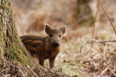 Lợn rừng tạo ra lượng CO2 tương đương 1,1 triệu ô tô