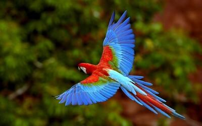 Cuộc đời khốn khổ của những con vẹt sinh ra ở rừng Amazon