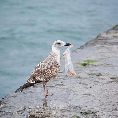 Các loài chim biển đang lâm nguy vì rác thải nhựa