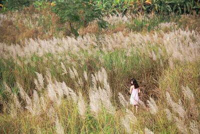 Ngất ngây cánh đồng cỏ lau đẹp tựa 'xứ sở thần tiên' bên cây cầu trăm tuổi Long Biên