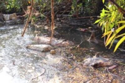 Lâm Đồng: Xác lợn chết do dịch bệnh trôi nổi trên suối Cam Ly