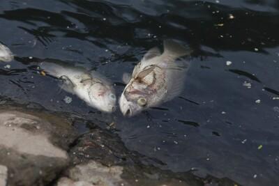 Sông Tô Lịch xuất hiện nhiều xác cá chết, bốc mùi hôi thối
