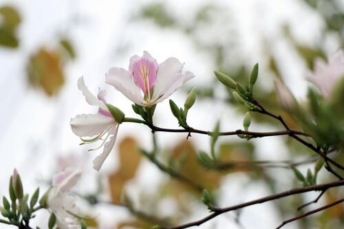 Hoa ban nở rộ khoe vẻ đẹp tinh khôi nơi vùng cao Tây Bắc